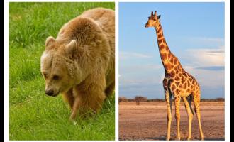 不要害怕熊,做长颈鹿